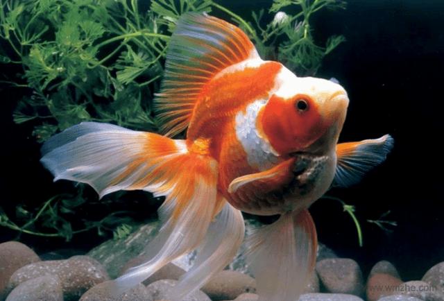 金鱼屏保软件截图