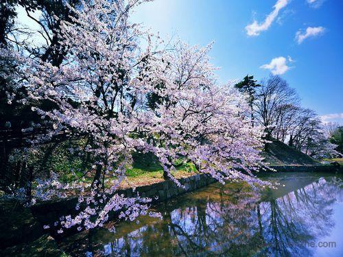 Win7官方主题-日本樱花软件截图